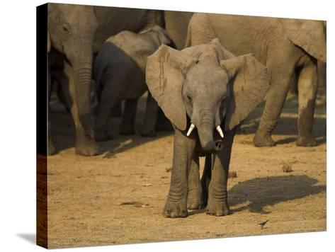 Baby Elephant, Eastern Cape, South Africa-Ann & Steve Toon-Stretched Canvas Print