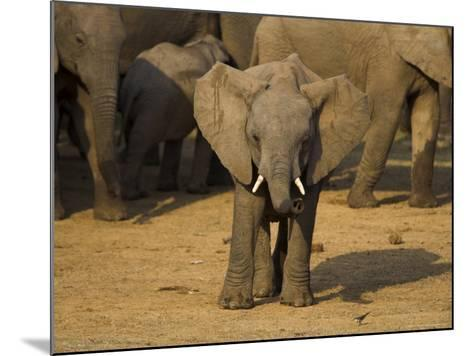 Baby Elephant, Eastern Cape, South Africa-Ann & Steve Toon-Mounted Photographic Print