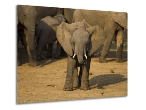 Baby Elephant, Eastern Cape, South Africa-Ann & Steve Toon-Metal Print