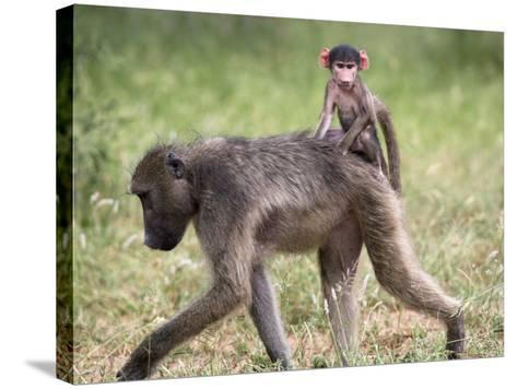 Young Chacma Baboon Riding on Adult's Back in Kruger National Park, Mpumalanga, Africa-Ann & Steve Toon-Stretched Canvas Print