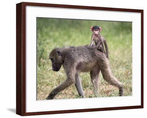 Young Chacma Baboon Riding on Adult's Back in Kruger National Park, Mpumalanga, Africa-Ann & Steve Toon-Framed Art Print