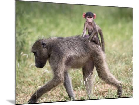 Young Chacma Baboon Riding on Adult's Back in Kruger National Park, Mpumalanga, Africa-Ann & Steve Toon-Mounted Photographic Print