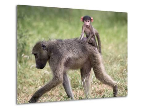 Young Chacma Baboon Riding on Adult's Back in Kruger National Park, Mpumalanga, Africa-Ann & Steve Toon-Metal Print