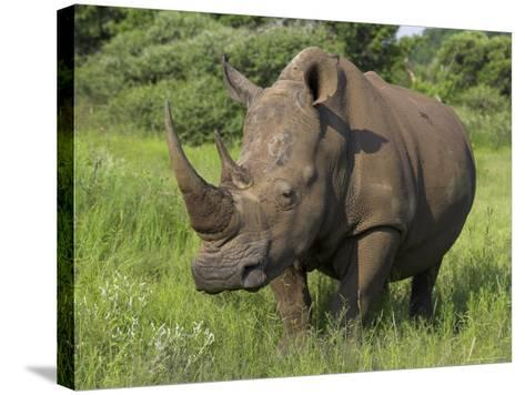 White Rhino, Pilanesberg Game Reserve, North West Province, South Africa, Africa-Ann & Steve Toon-Stretched Canvas Print