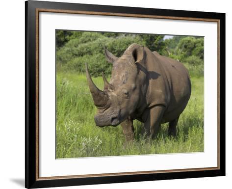 White Rhino, Pilanesberg Game Reserve, North West Province, South Africa, Africa-Ann & Steve Toon-Framed Art Print