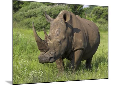 White Rhino, Pilanesberg Game Reserve, North West Province, South Africa, Africa-Ann & Steve Toon-Mounted Photographic Print