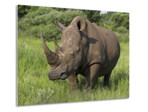White Rhino, Pilanesberg Game Reserve, North West Province, South Africa, Africa-Ann & Steve Toon-Metal Print