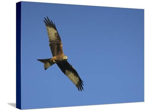 Red Kite (Milvus Milvus) in Flight with Wing Tags, Gigrin Farm, Rhayader, Wales, United Kingdom-Ann & Steve Toon-Stretched Canvas Print