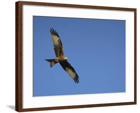 Red Kite (Milvus Milvus) in Flight with Wing Tags, Gigrin Farm, Rhayader, Wales, United Kingdom-Ann & Steve Toon-Framed Art Print