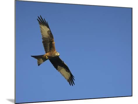 Red Kite (Milvus Milvus) in Flight with Wing Tags, Gigrin Farm, Rhayader, Wales, United Kingdom-Ann & Steve Toon-Mounted Photographic Print