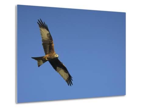 Red Kite (Milvus Milvus) in Flight with Wing Tags, Gigrin Farm, Rhayader, Wales, United Kingdom-Ann & Steve Toon-Metal Print