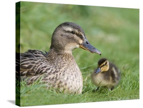 Mallard with Duckling, Martin Mere, Wildfowl and Wetland Trust Reserve, England, United Kingdom-Ann & Steve Toon-Stretched Canvas Print