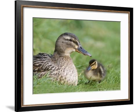 Mallard with Duckling, Martin Mere, Wildfowl and Wetland Trust Reserve, England, United Kingdom-Ann & Steve Toon-Framed Art Print