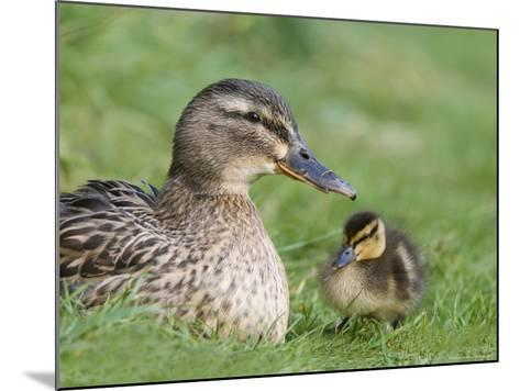 Mallard with Duckling, Martin Mere, Wildfowl and Wetland Trust Reserve, England, United Kingdom-Ann & Steve Toon-Mounted Photographic Print
