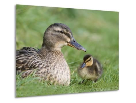 Mallard with Duckling, Martin Mere, Wildfowl and Wetland Trust Reserve, England, United Kingdom-Ann & Steve Toon-Metal Print