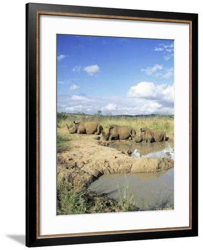 White Rhinoceros, Ceratotherium Simum, at Rest, Hluhluwe Umfolozi Game Reserve, South Africa-Ann & Steve Toon-Framed Art Print