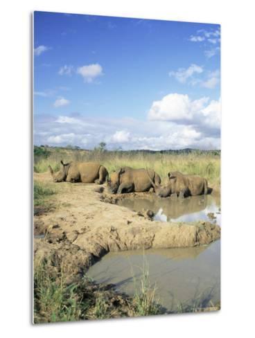 White Rhinoceros, Ceratotherium Simum, at Rest, Hluhluwe Umfolozi Game Reserve, South Africa-Ann & Steve Toon-Metal Print