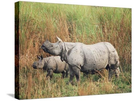 Indian One-Horned Rhinoceros (Rhino), Rhinoceros Unicornis, with Calf, Assam, India-Ann & Steve Toon-Stretched Canvas Print