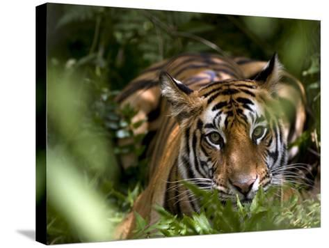 Female Indian Tiger at Samba Deer Kill, Bandhavgarh National Park, India-Thorsten Milse-Stretched Canvas Print