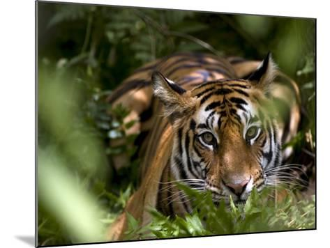 Female Indian Tiger at Samba Deer Kill, Bandhavgarh National Park, India-Thorsten Milse-Mounted Photographic Print