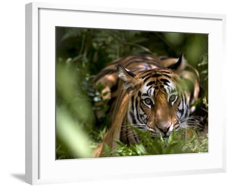 Female Indian Tiger at Samba Deer Kill, Bandhavgarh National Park, India-Thorsten Milse-Framed Art Print