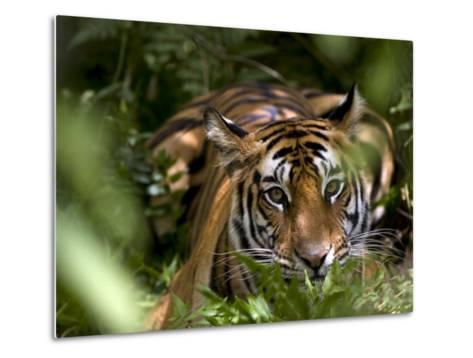 Female Indian Tiger at Samba Deer Kill, Bandhavgarh National Park, India-Thorsten Milse-Metal Print