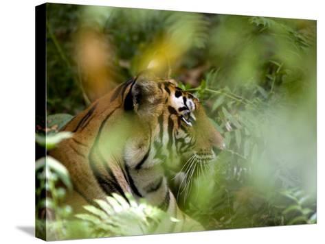 Female Indian Tiger (Bengal Tiger) (Panthera Tigris Tigris), Bandhavgarh National Park, India-Thorsten Milse-Stretched Canvas Print