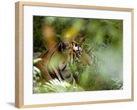 Female Indian Tiger (Bengal Tiger) (Panthera Tigris Tigris), Bandhavgarh National Park, India-Thorsten Milse-Framed Art Print