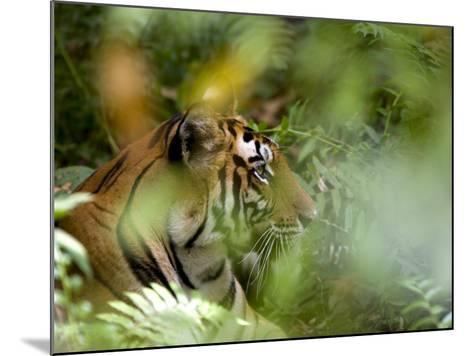 Female Indian Tiger (Bengal Tiger) (Panthera Tigris Tigris), Bandhavgarh National Park, India-Thorsten Milse-Mounted Photographic Print