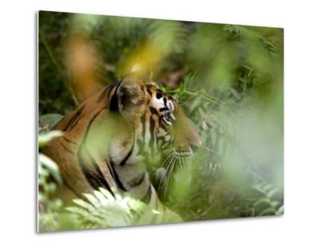 Female Indian Tiger (Bengal Tiger) (Panthera Tigris Tigris), Bandhavgarh National Park, India-Thorsten Milse-Metal Print