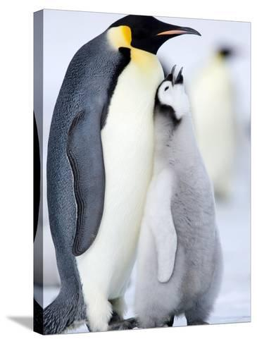 Emperor Penguin Chick and Adult, Snow Hill Island, Weddell Sea, Antarctica, Polar Regions-Thorsten Milse-Stretched Canvas Print