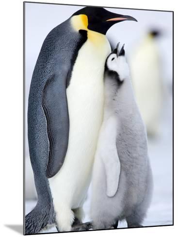 Emperor Penguin Chick and Adult, Snow Hill Island, Weddell Sea, Antarctica, Polar Regions-Thorsten Milse-Mounted Photographic Print