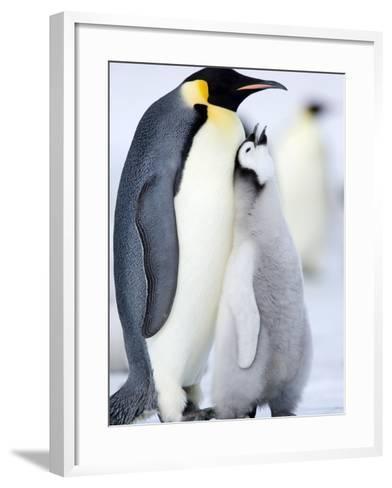 Emperor Penguin Chick and Adult, Snow Hill Island, Weddell Sea, Antarctica, Polar Regions-Thorsten Milse-Framed Art Print
