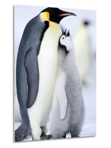 Emperor Penguin Chick and Adult, Snow Hill Island, Weddell Sea, Antarctica, Polar Regions-Thorsten Milse-Metal Print
