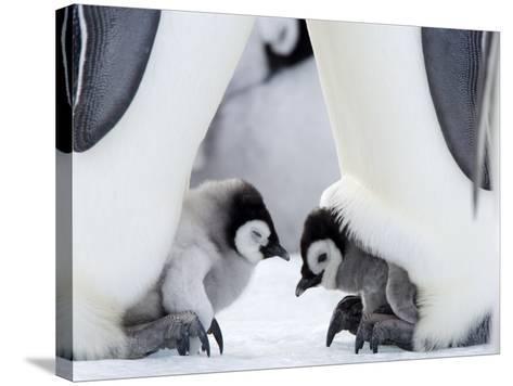 Emperor Penguin Chicks, Snow Hill Island, Weddell Sea, Antarctica, Polar Regions-Thorsten Milse-Stretched Canvas Print