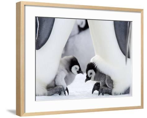 Emperor Penguin Chicks, Snow Hill Island, Weddell Sea, Antarctica, Polar Regions-Thorsten Milse-Framed Art Print