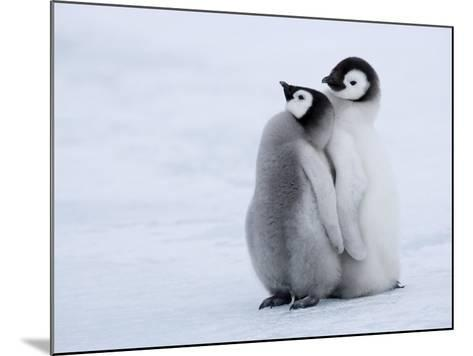 Emperor Penguin Chicks, Snow Hill Island, Weddell Sea, Antarctica, Polar Regions-Thorsten Milse-Mounted Photographic Print