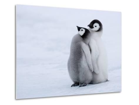 Emperor Penguin Chicks, Snow Hill Island, Weddell Sea, Antarctica, Polar Regions-Thorsten Milse-Metal Print