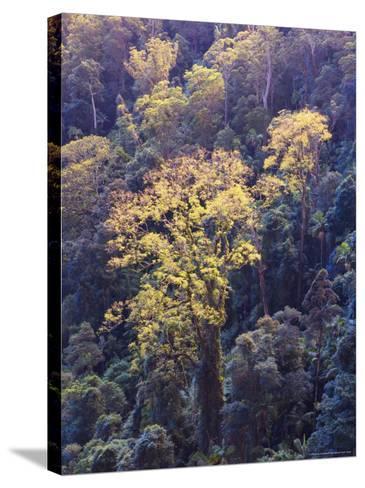 Rainforest Canopy, Springbrook National Park, Unesco World Heritage Site, Queensland, Australia-Jochen Schlenker-Stretched Canvas Print