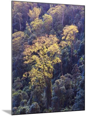 Rainforest Canopy, Springbrook National Park, Unesco World Heritage Site, Queensland, Australia-Jochen Schlenker-Mounted Photographic Print