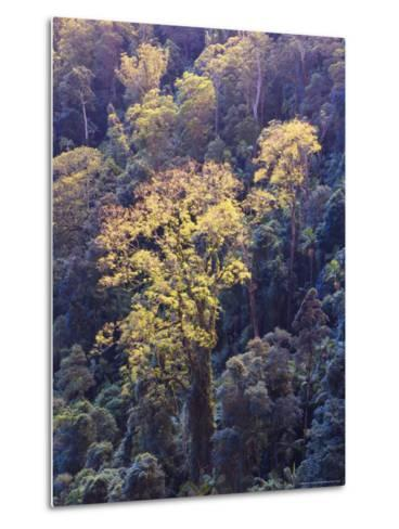 Rainforest Canopy, Springbrook National Park, Unesco World Heritage Site, Queensland, Australia-Jochen Schlenker-Metal Print