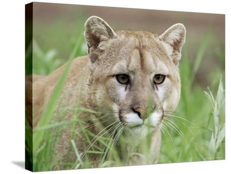 Mountain Lion (Felis Concolor), in Captivity, Sandstone, Minnesota, USA-James Hager-Stretched Canvas Print