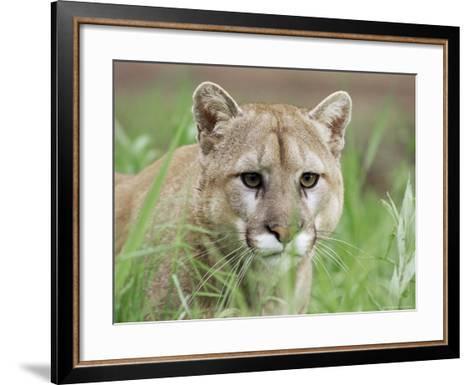 Mountain Lion (Felis Concolor), in Captivity, Sandstone, Minnesota, USA-James Hager-Framed Art Print