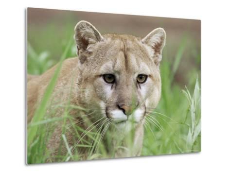 Mountain Lion (Felis Concolor), in Captivity, Sandstone, Minnesota, USA-James Hager-Metal Print