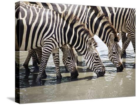Burchell's Zebra (Equus Burchelli), Drinking, Tarangire National Park, Tanzania, East Africa-James Hager-Stretched Canvas Print