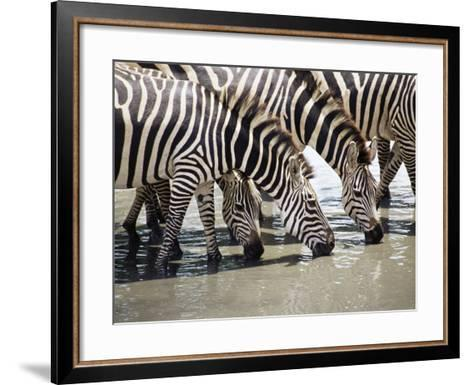 Burchell's Zebra (Equus Burchelli), Drinking, Tarangire National Park, Tanzania, East Africa-James Hager-Framed Art Print
