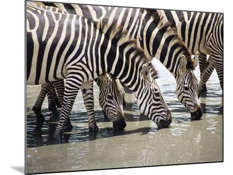 Burchell's Zebra (Equus Burchelli), Drinking, Tarangire National Park, Tanzania, East Africa-James Hager-Mounted Photographic Print