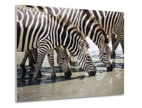 Burchell's Zebra (Equus Burchelli), Drinking, Tarangire National Park, Tanzania, East Africa-James Hager-Metal Print