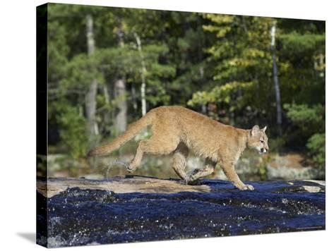 Captive Mountain Lion Crossing a Stream, Minnesota Wildlife Connection, Minnesota, USA-James Hager-Stretched Canvas Print