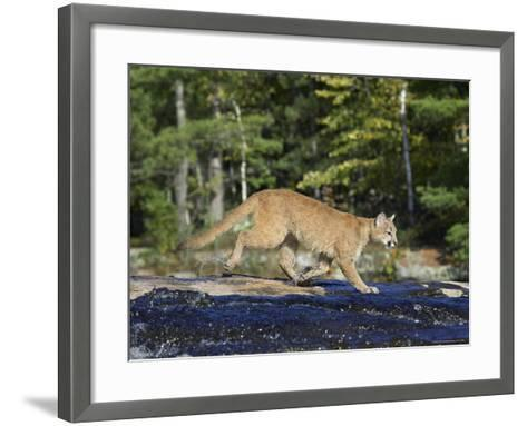Captive Mountain Lion Crossing a Stream, Minnesota Wildlife Connection, Minnesota, USA-James Hager-Framed Art Print